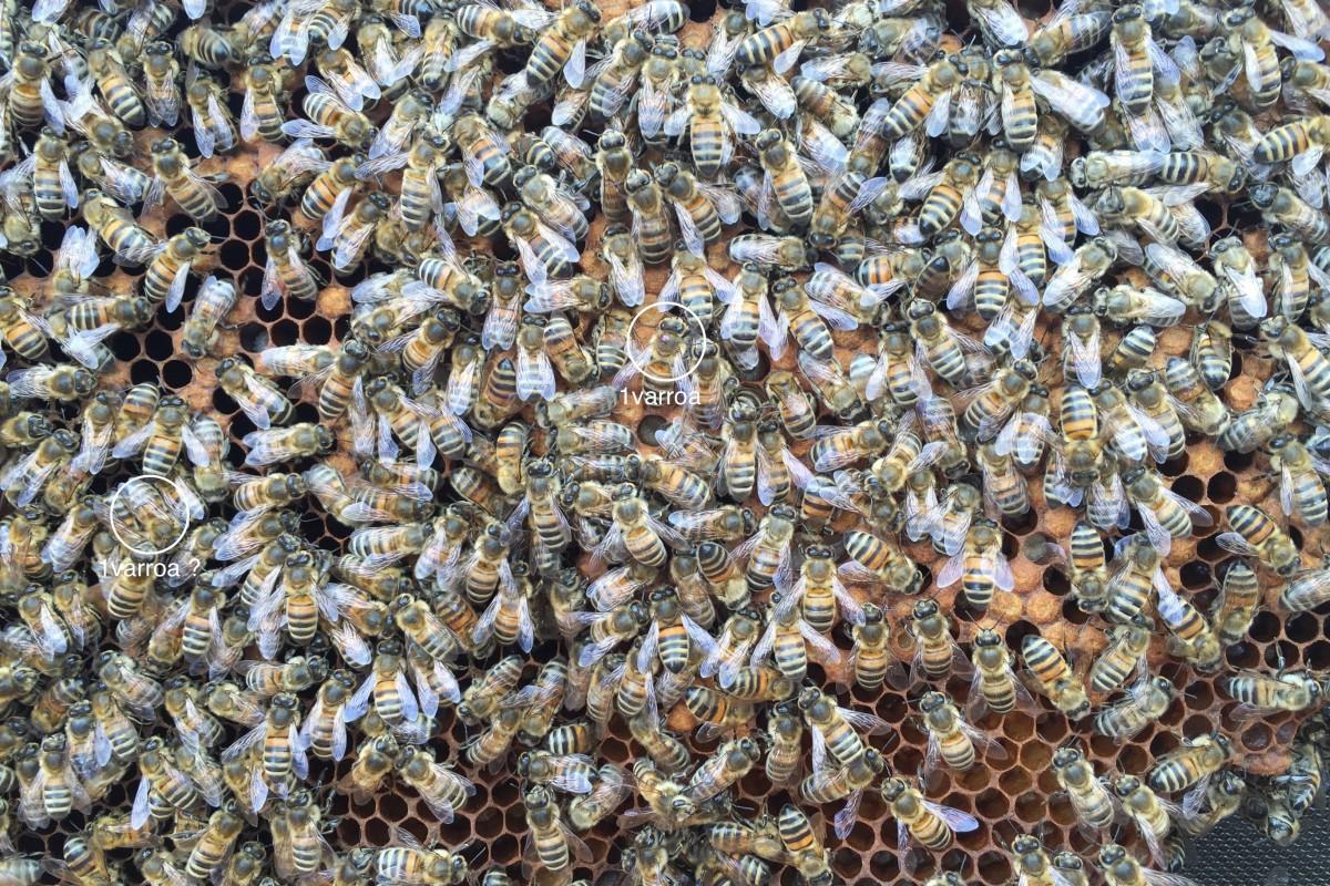 4-3zoom 2 varroa