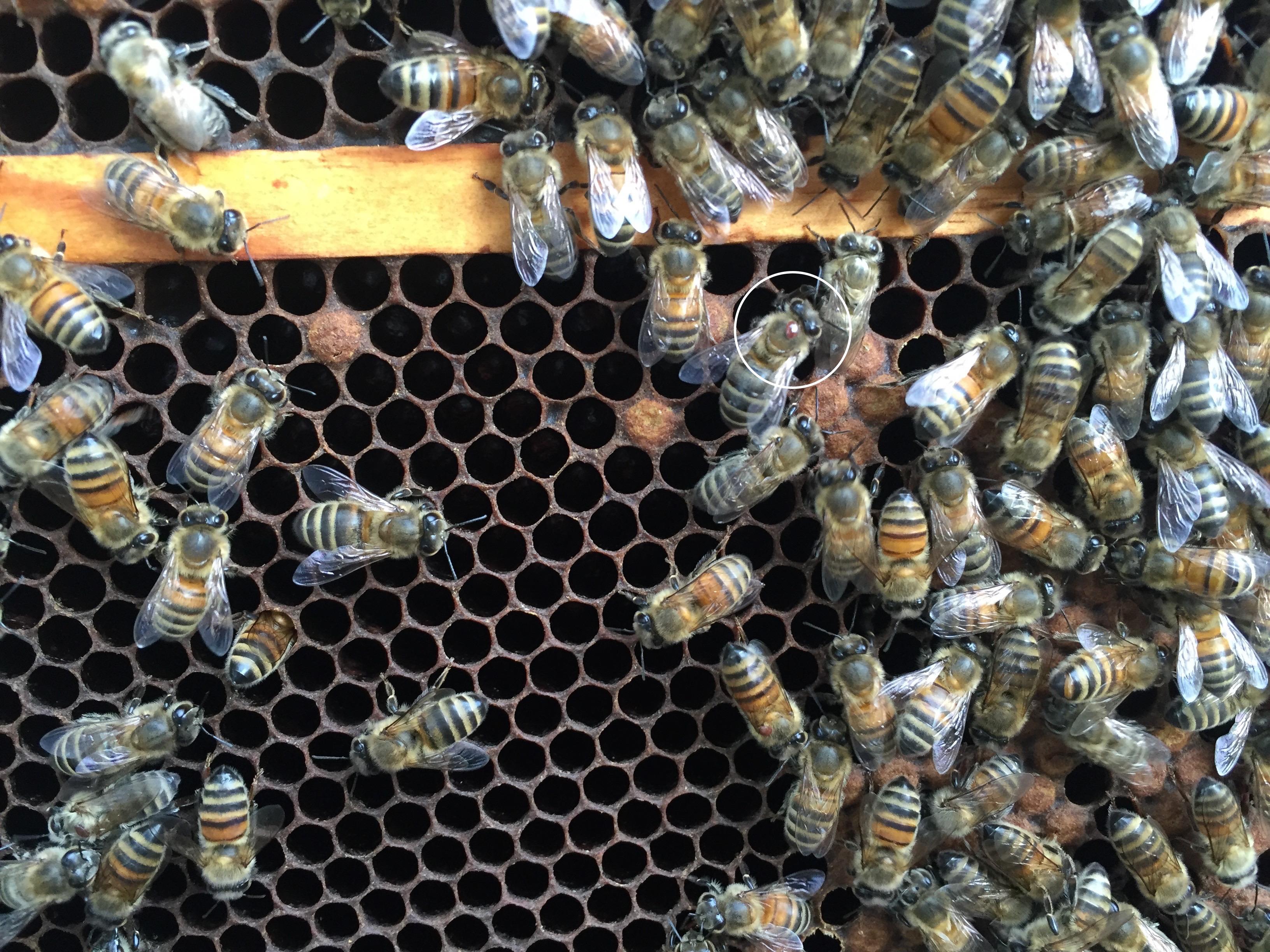 41-3 varroa 3v