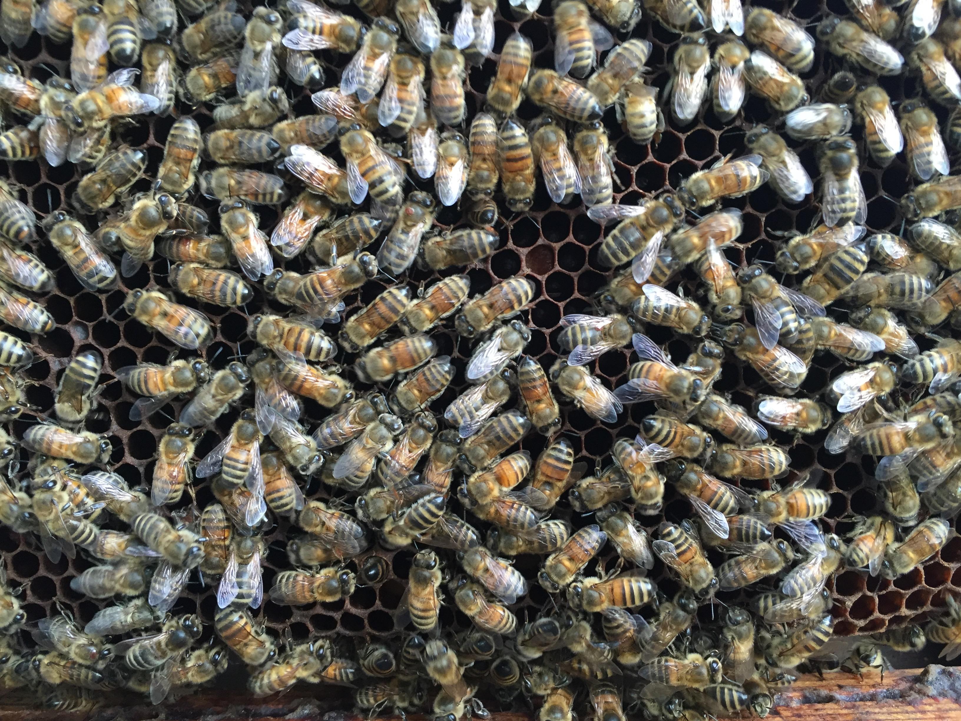 41-4zoom 4 varroa