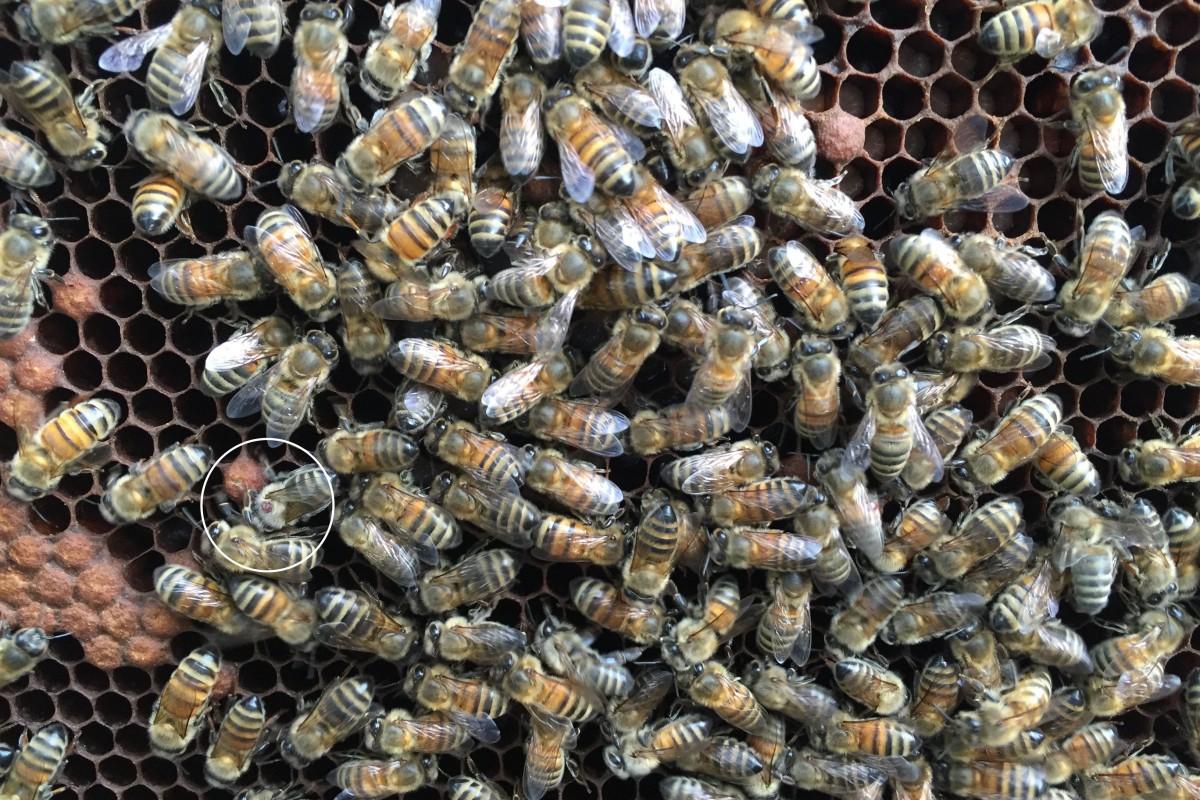 41-5zoom 1 varroa