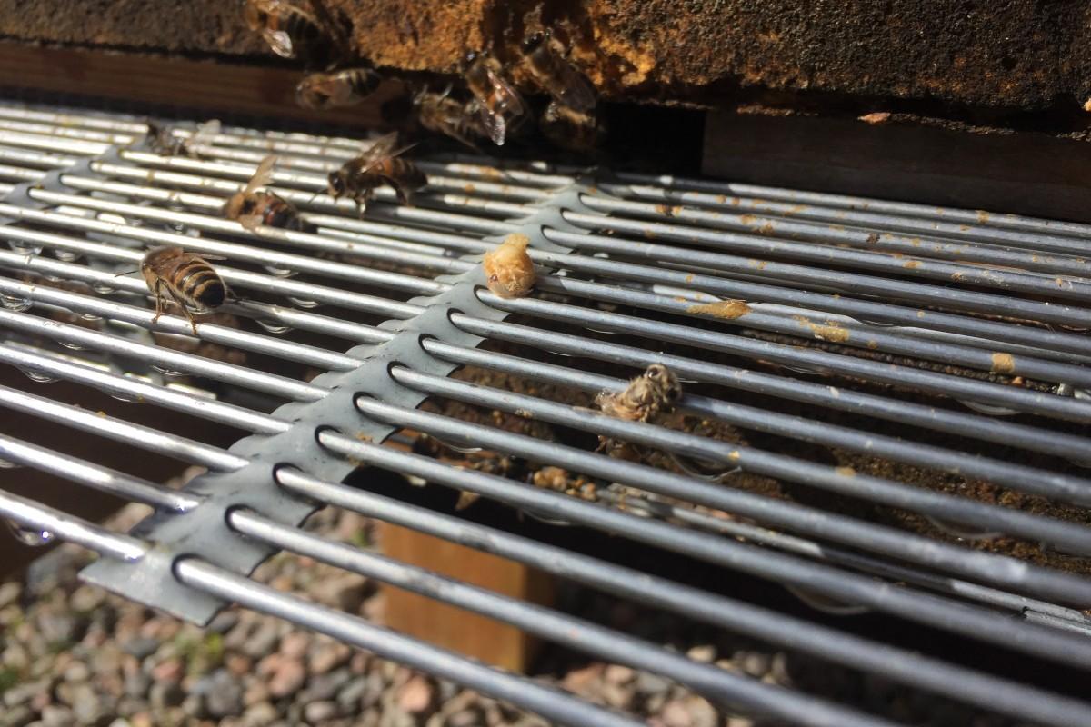 varroacleansing